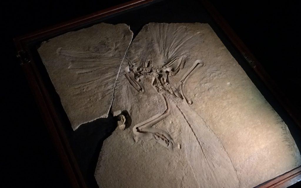 始祖鳥の化石 大映自然史博物館